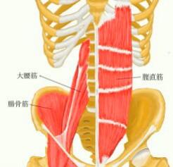 腹筋解剖図