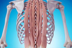 脊柱起立筋の役割