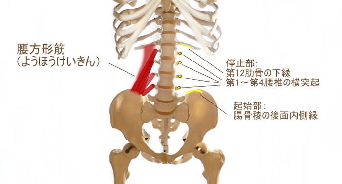 腰方形筋(ようほうけいきん)