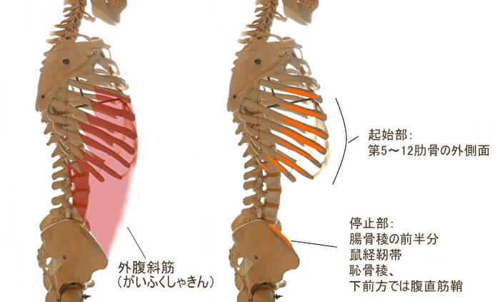 外腹斜筋(がいふくしゃきん)