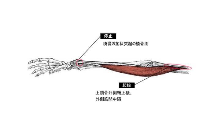 1.腕橈骨筋