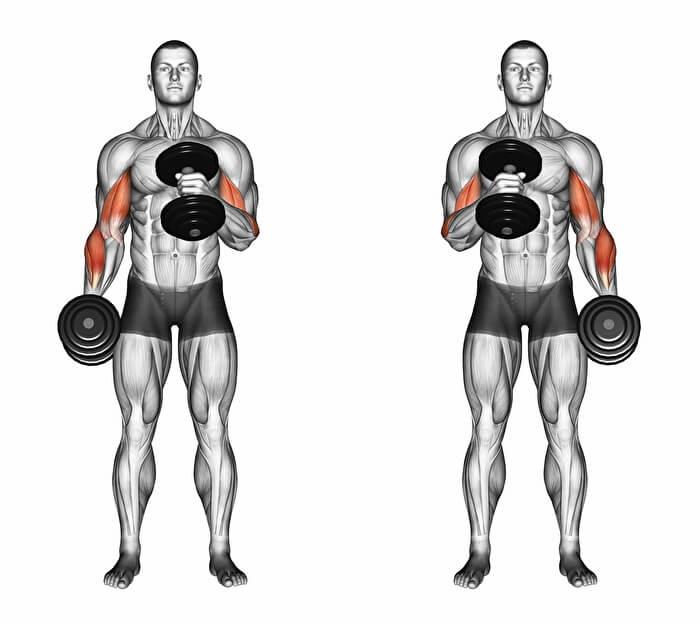 ハンマーカールで鍛えることができる筋肉